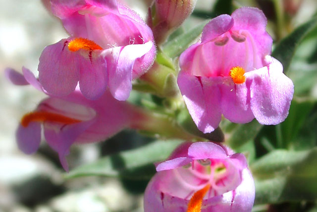 Graham's Penstemon